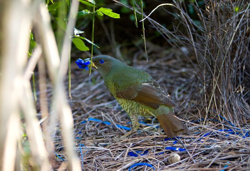 bowerbirds-3874