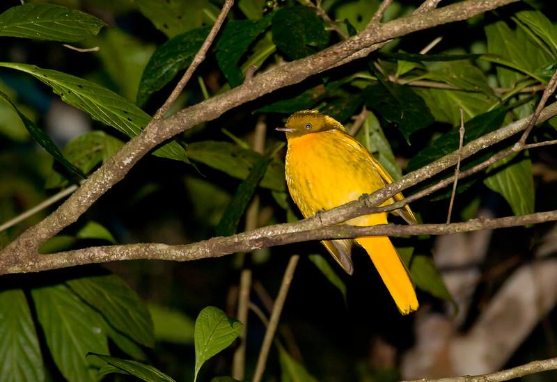 bowerbirds-9123