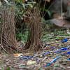 bowerbirds-2815