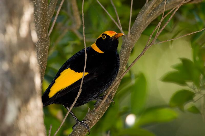 bowerbirds-2524