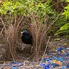 bowerbirds-3826