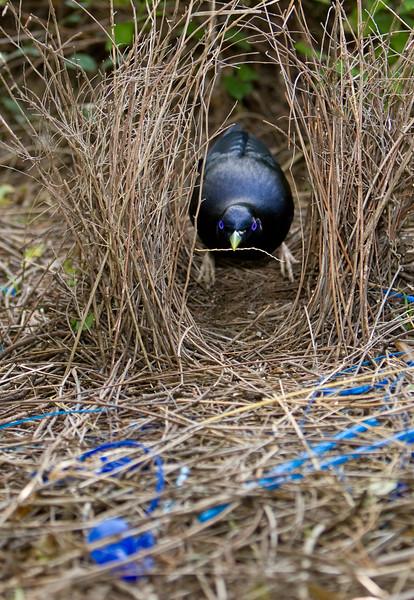 bowerbirds-3757