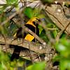 bowerbirds-2523