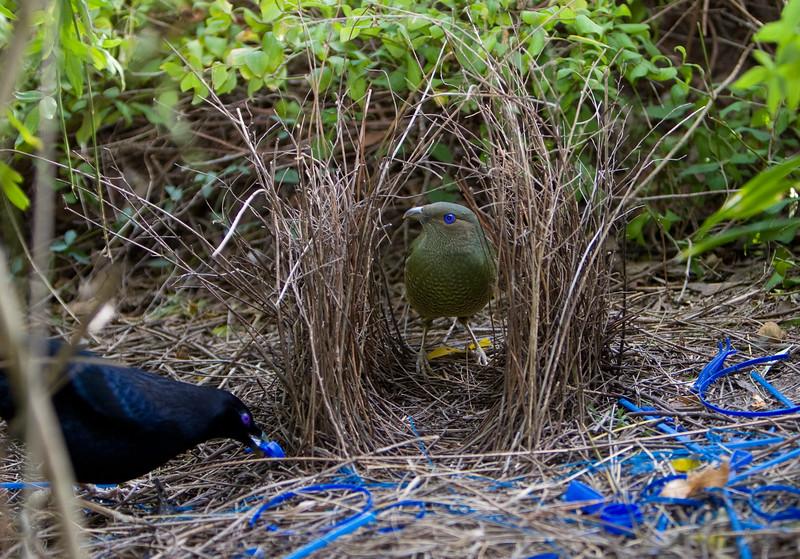 bowerbirds-3783