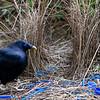 bowerbirds-3830