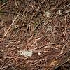 bowerbirds-2977