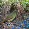 bowerbirds-3873