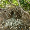 bowerbirds-1816