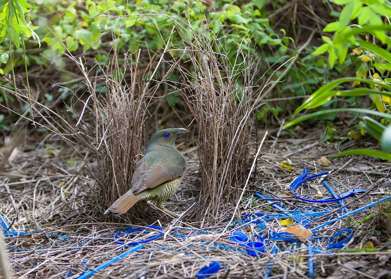 bowerbirds-3808