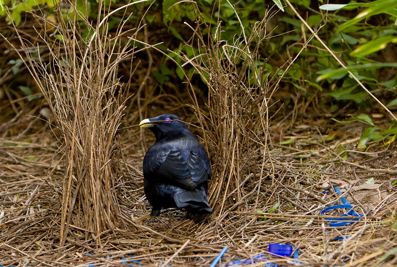 bowerbirds-3712
