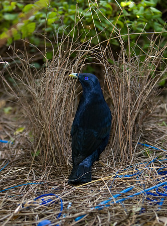 Bowerbirds and Catbirds- PTILINORHYNCHIDAE