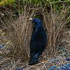bowerbirds-3755