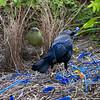 bowerbirds-3804
