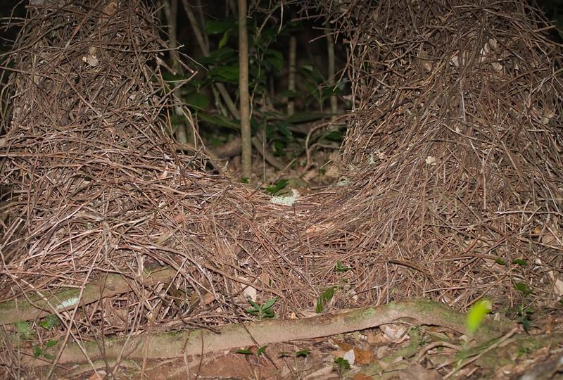 bowerbirds-2965