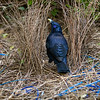 bowerbirds-3765