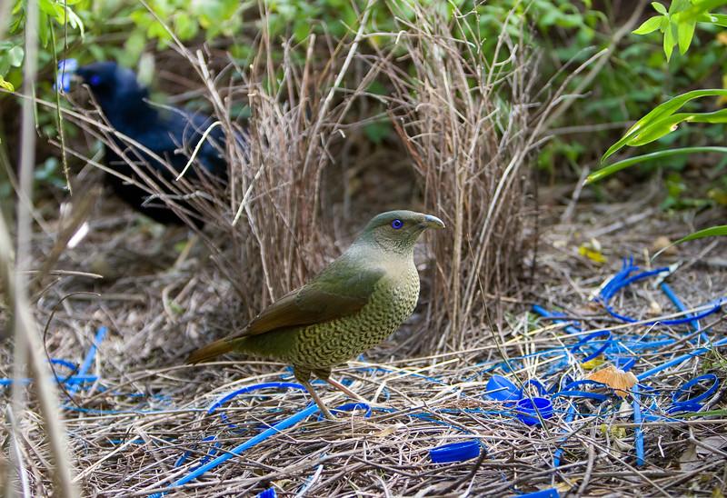 bowerbirds-3794