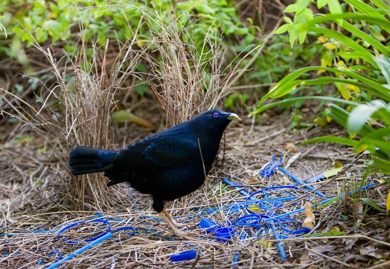 bowerbirds-3777