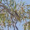 bowerbirds-4240