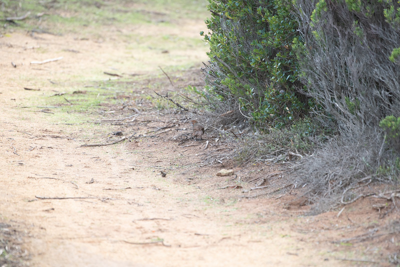 Rufous Bristlebird, Robe, SA