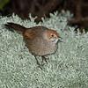 rbristlebird-8464