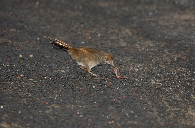 rbristlebird-8473