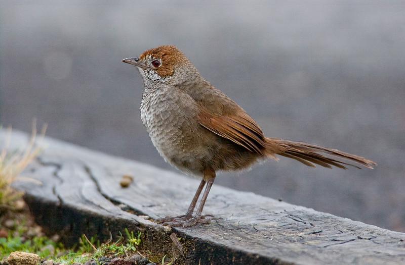 rbristlebird-8475