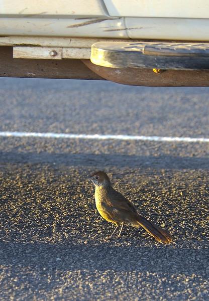 rbristlebird-8110