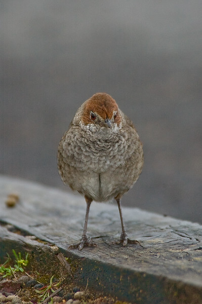 rbristlebird-8476