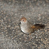 rbristlebird-8472