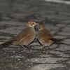 rbristlebird-8478