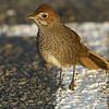 rbristlebird-8112