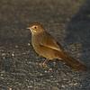 rbristlebird-8119