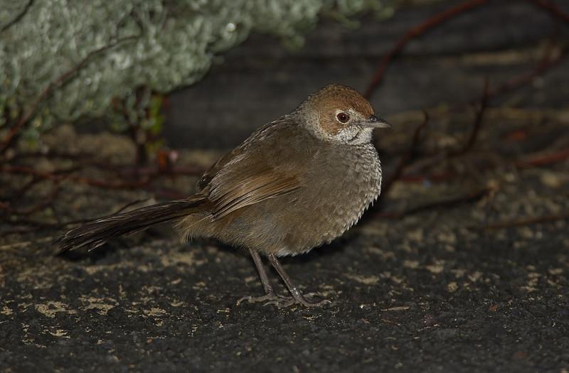 rbristlebird-8455