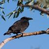 crow_cuttaburracrossing-4601