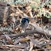Superb Fairy-wren, Buronga, NSW