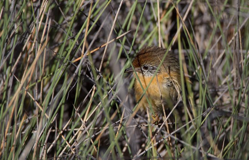 Mallee Emu-wren. Hattah-Kulkyne NP