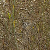 greygrasswren_bird-4367