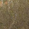 greygrasswren-4367
