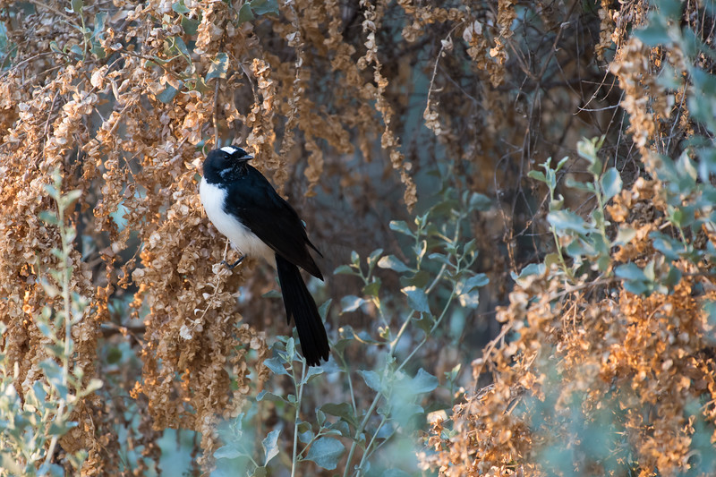Willie Wagtail, Buronga