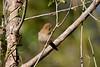 Crimson Finch- Neochmia phaeton evangelinae, Lakefield, Cape York Peninsula, QLD. Juvenile