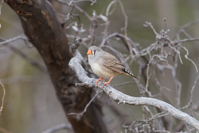 zebrafinch-7949