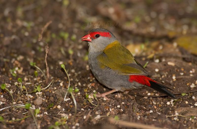 Red-browed Finch- Neochmia temporalis temporalis, Julatten, QLD