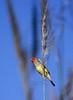 Star Finch (Neochmia ruficauda subclarescens). Kununurra, Western Australia.
