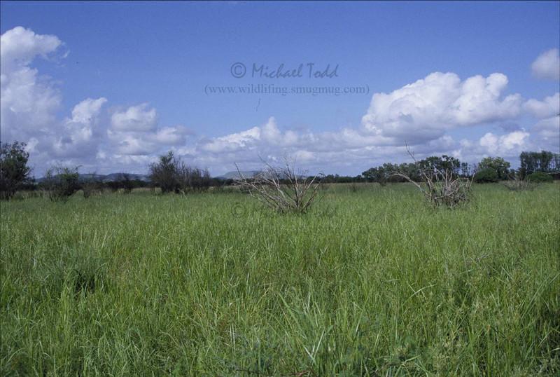 Star Finch (Neochmia ruficauda subclarescens). Kununurra, Western Australia. Wet season habitat
