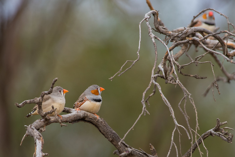 zebrafinch-7941