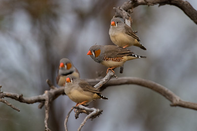 zebrafinch-7930