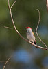 Red-browed Finch- Neochmia temporalis minor, Lakefield, QLD