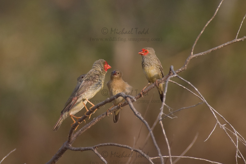 Star Finch (Neochmia ruficauda clarescens), Lakefield, Cape York Peninsula, Queensland. Family of two juveniles, male (on left) and female (on right).