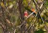 Crimson Finch- Neochmia phaeton evangelinae, Lakefield, Cape York Peninsula, QLD. Immatures