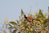 blackthroatedfinch-2115